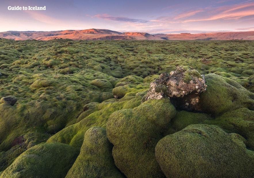 Moosbedeckte Lavafelder sind ein alltäglicher Anblick in Island.