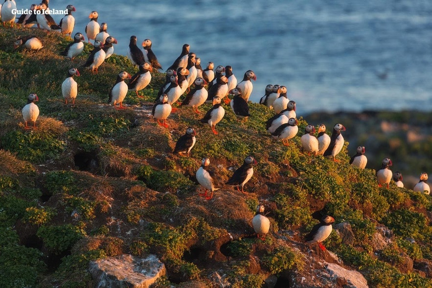 A group of puffins bask in the evening sun