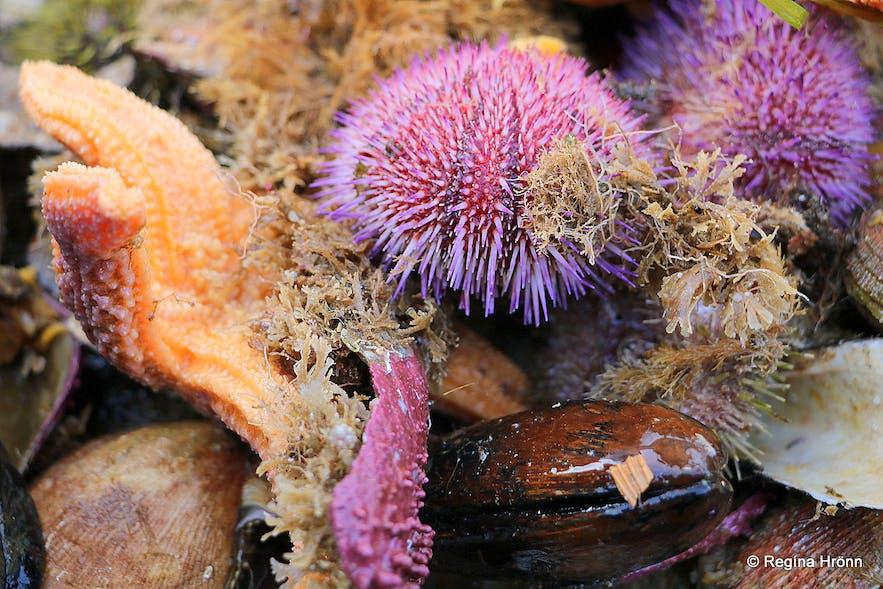 The fruit of the ocean - Breiðafjarðareyjar islands