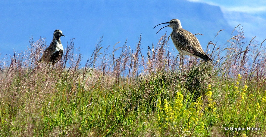 The plover and the whimbrel in the Westfjords