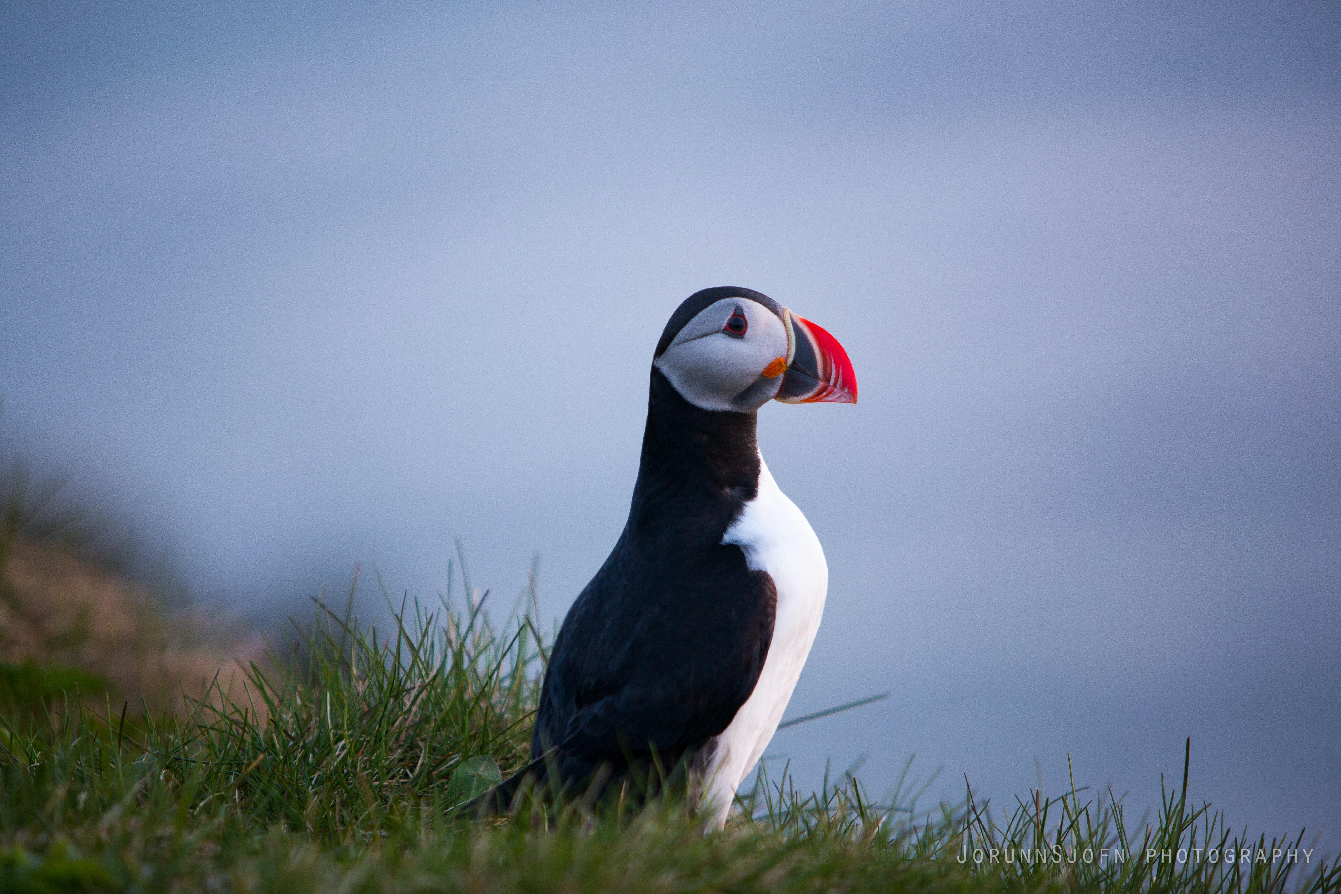 Puffin birds in Iceland