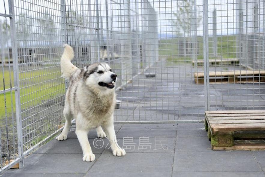 熱情的冰島雪橇犬