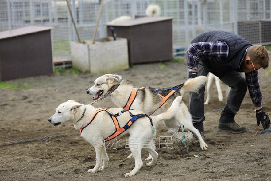 準備出發的雪橇犬