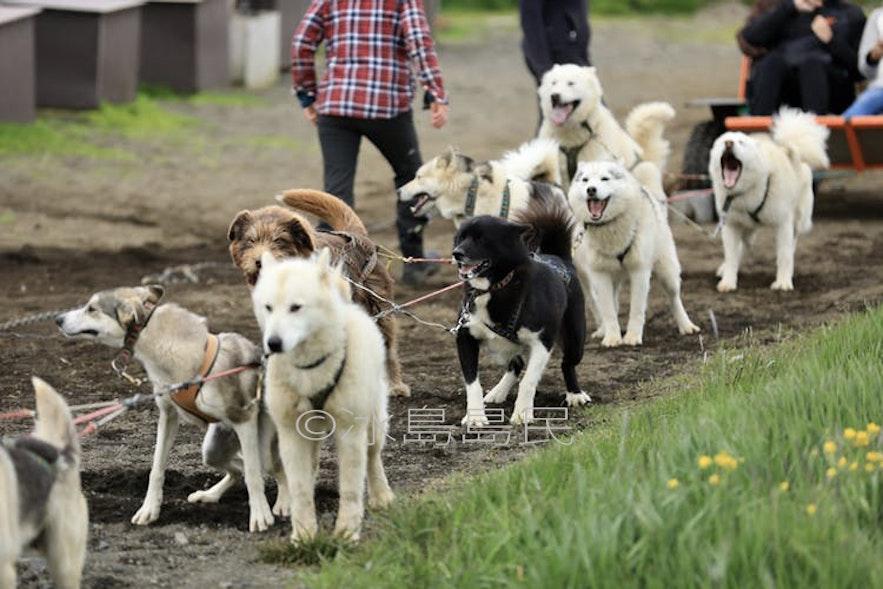 冰島雪橇犬車隊
