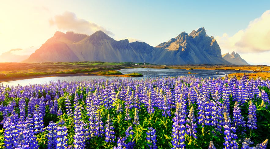 Lupins near Vestrahorn in East Iceland during spring