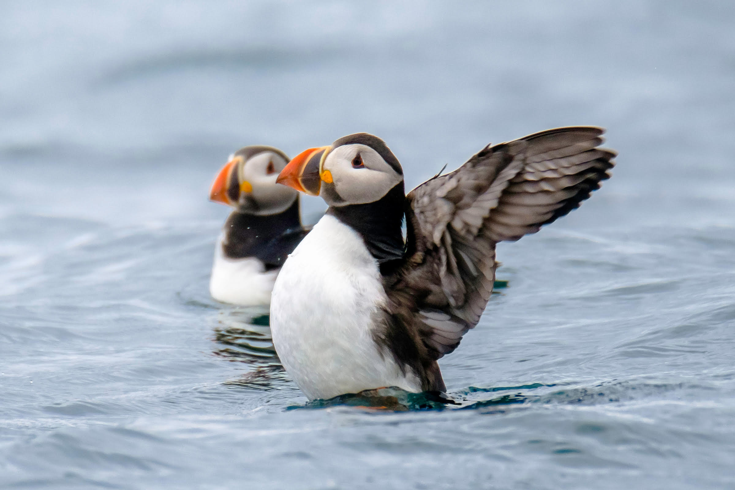 Two puffins in the water, one with it's wings raised in the air