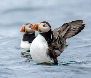 Puffin and Reykjavik RIB Speedboat Tour