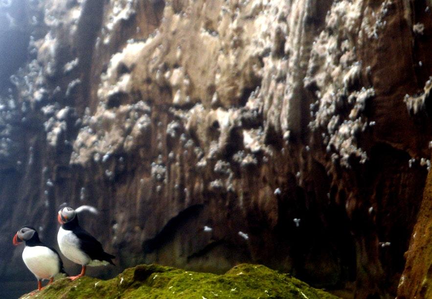 Drangey island puffins