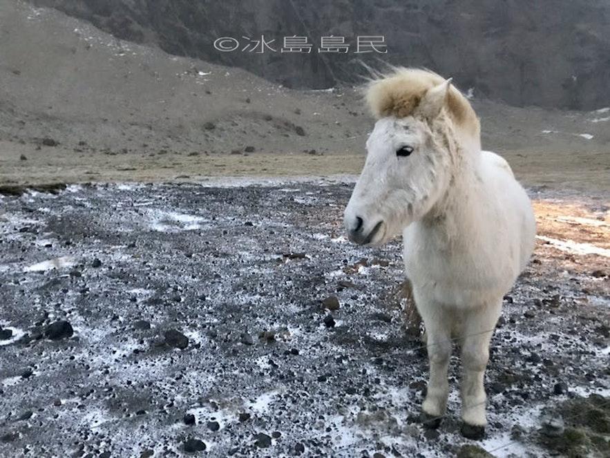 冰島馬的冬季的戎裝