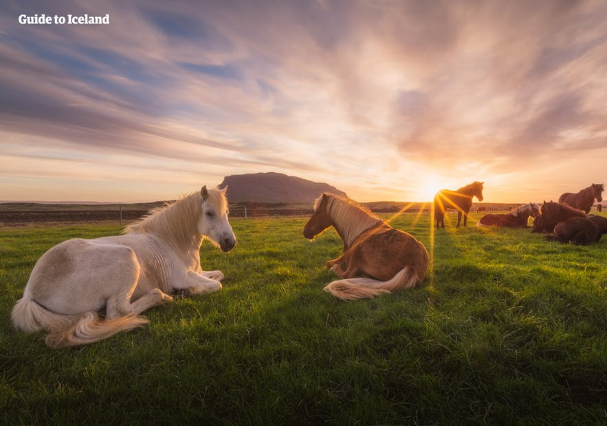 Horses grazing on the land at Herdubreid in Iceland