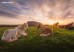 Horses_Herðubreið _ Mountain _ Highlands _ Summer _ WM.jpg