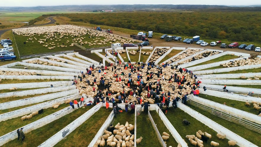Rettir sheep roundup at Borgarfjordur eystri