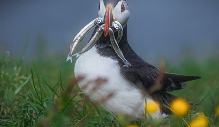 An Icelandic puffin with fish in its mouth