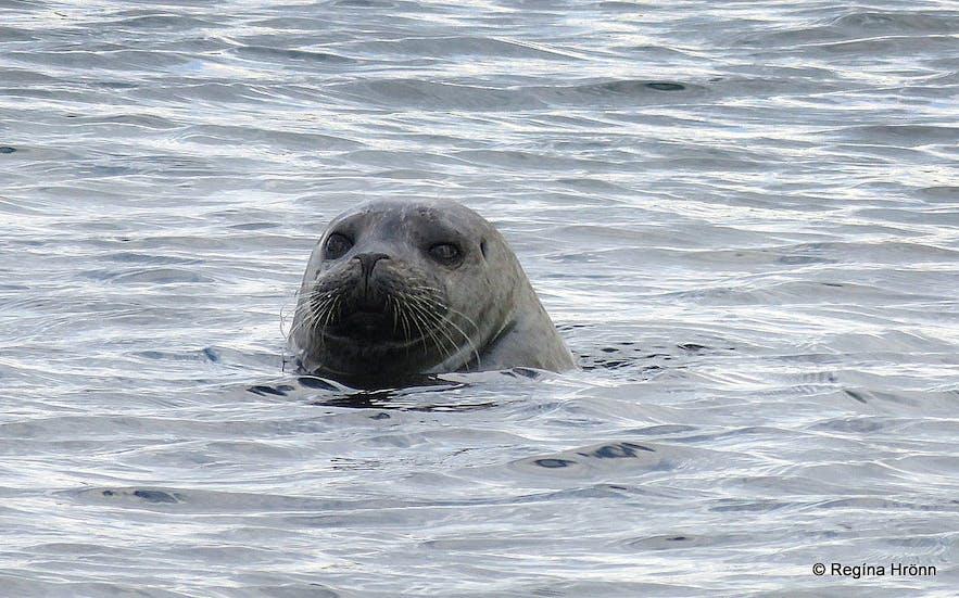 Seals at Reykjanes Westfjords