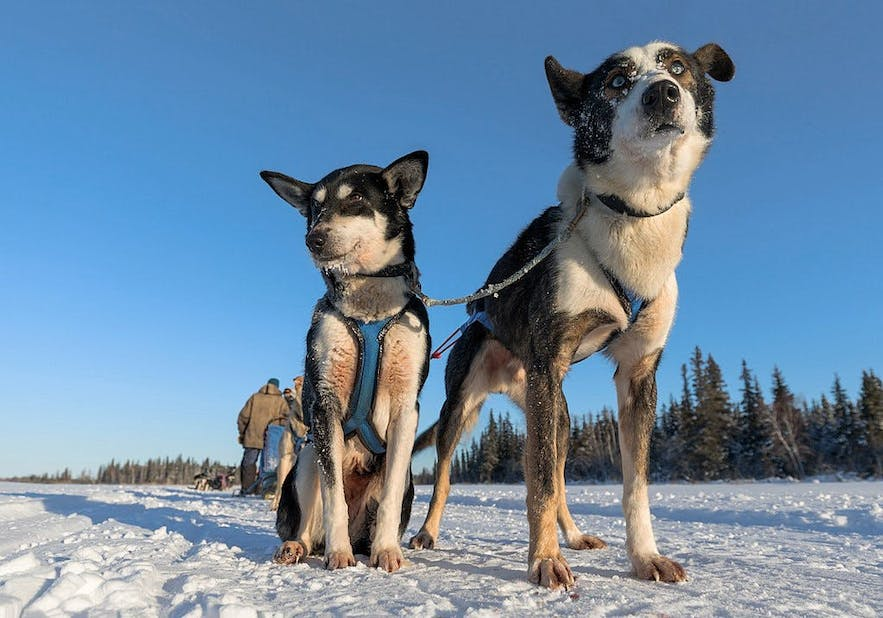The slimmer husky breed from Alaska is the fastest sled dog of all.