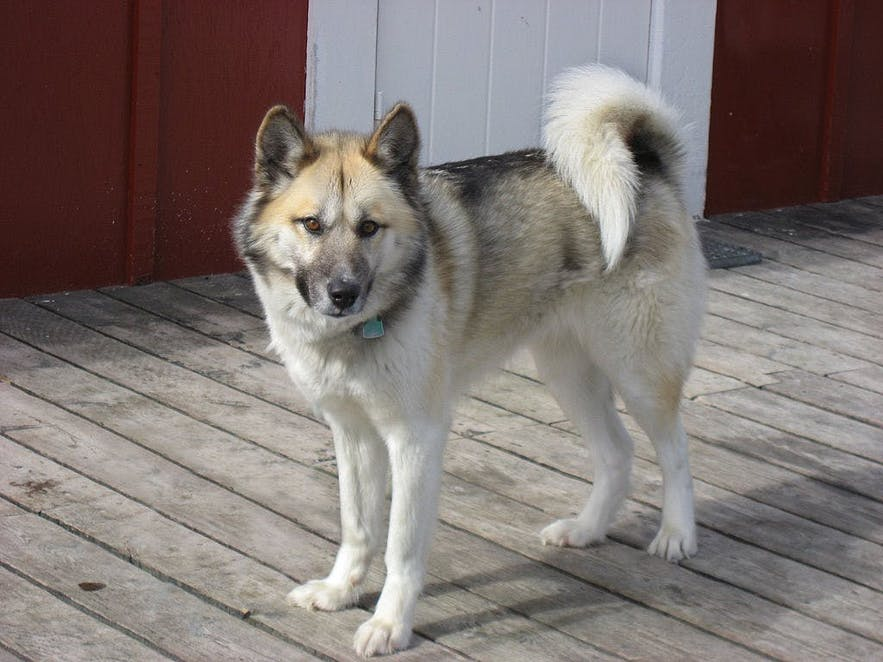 Greenland Dogs are known for their strength, stamina and strong pack mentality.