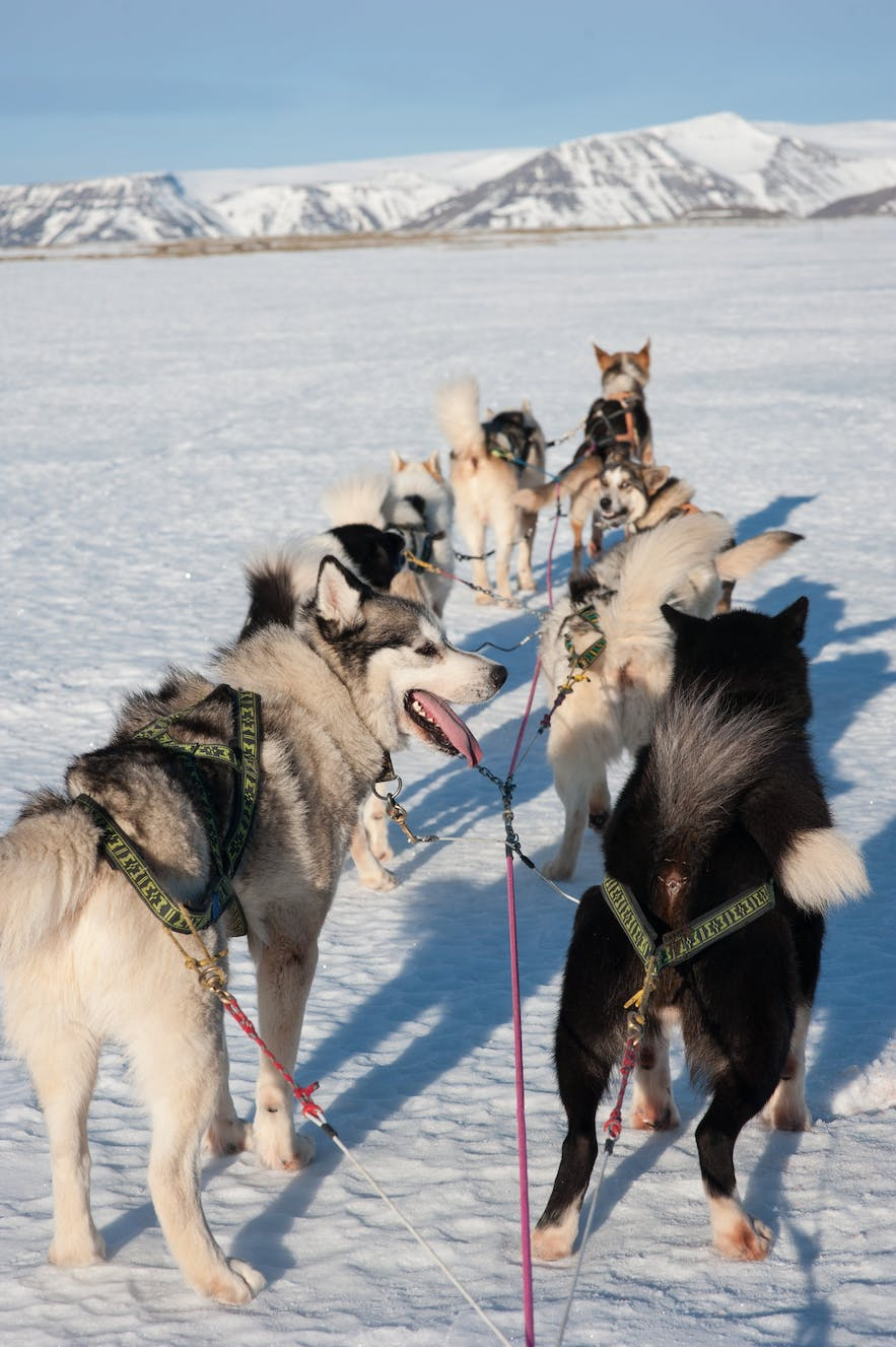 Dog sledding in Iceland can either be done on snowy glacial fields or on 'Dry-Land', using a cart instead of sled.