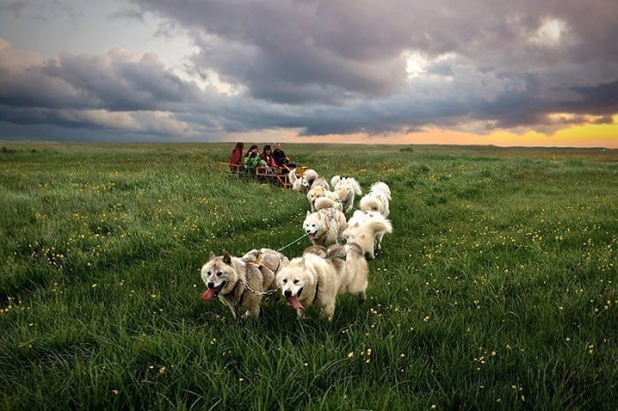 An example of dry land dog sledding in Iceland.