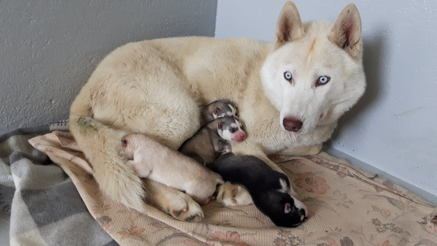 A husky shielding her new puppies.