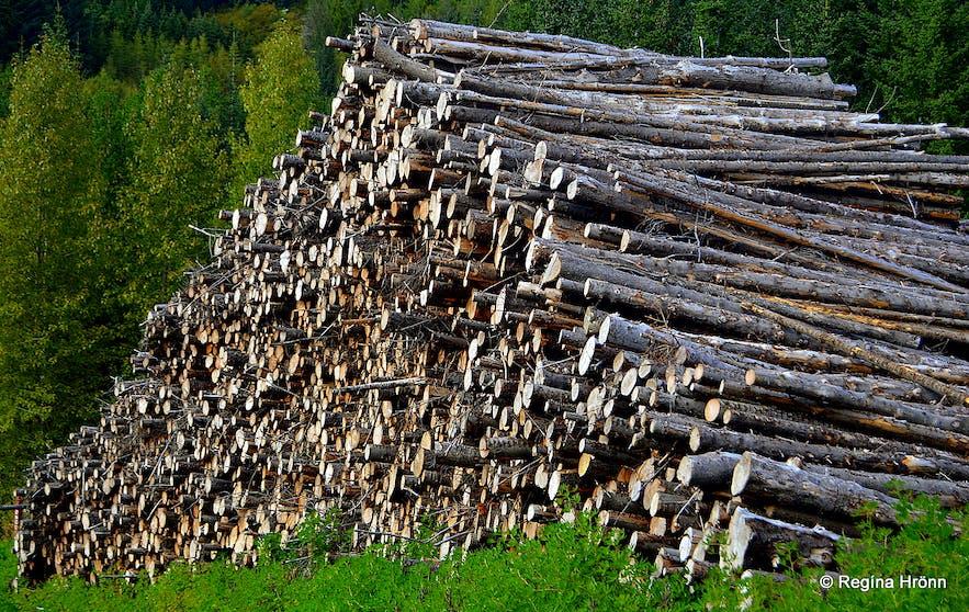 Haukadalsskógur forest in South-Iceland