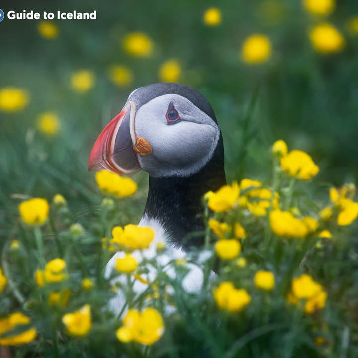 Puffins can be found in many of Iceland's coastal corners.
