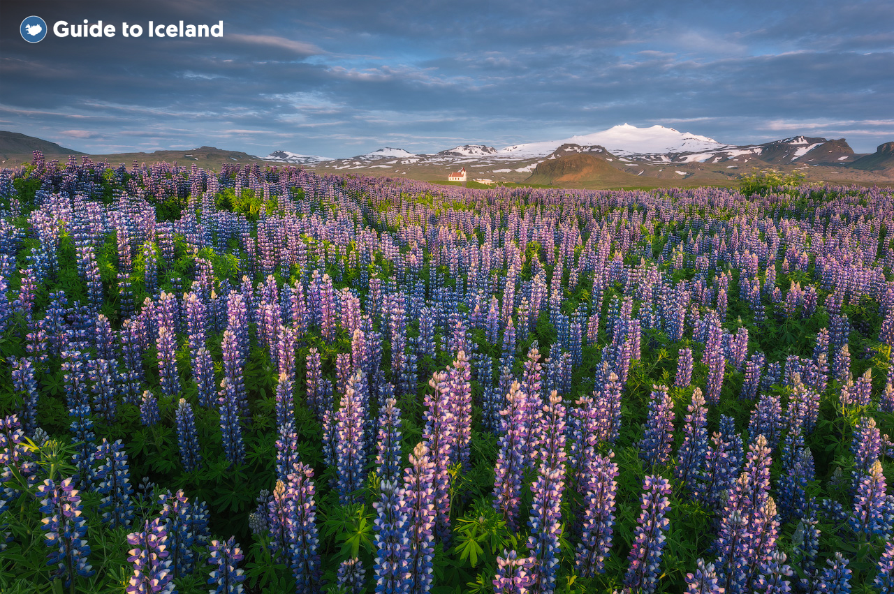 Lupins bloom across the Snaefellsnes Peninsula in Iceland.