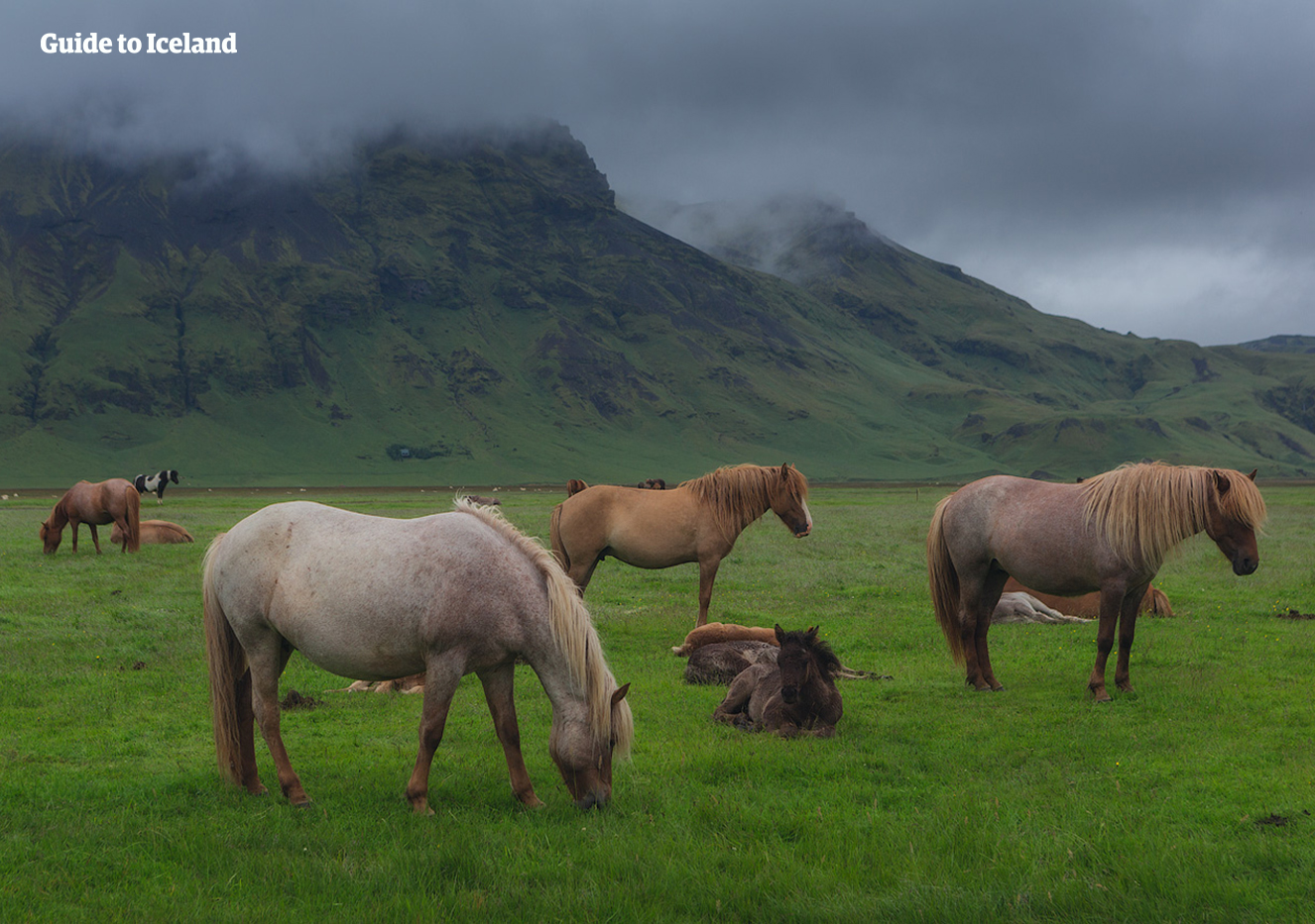 Icelandic horses graze beneath a misty mountain in Iceland.