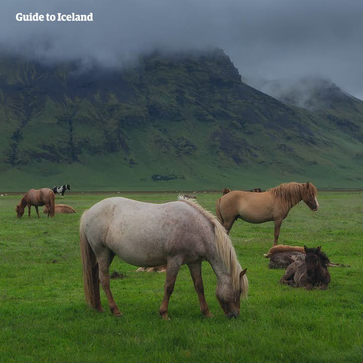 Icelandic horses graze beneath a misty mountain in Iceland.