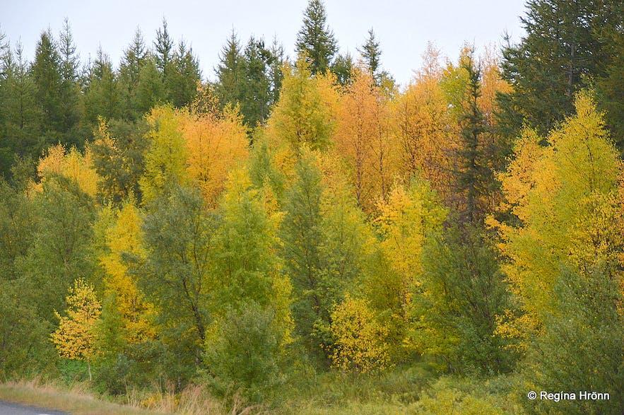 Hallormsstaðaskógur forest in the fall