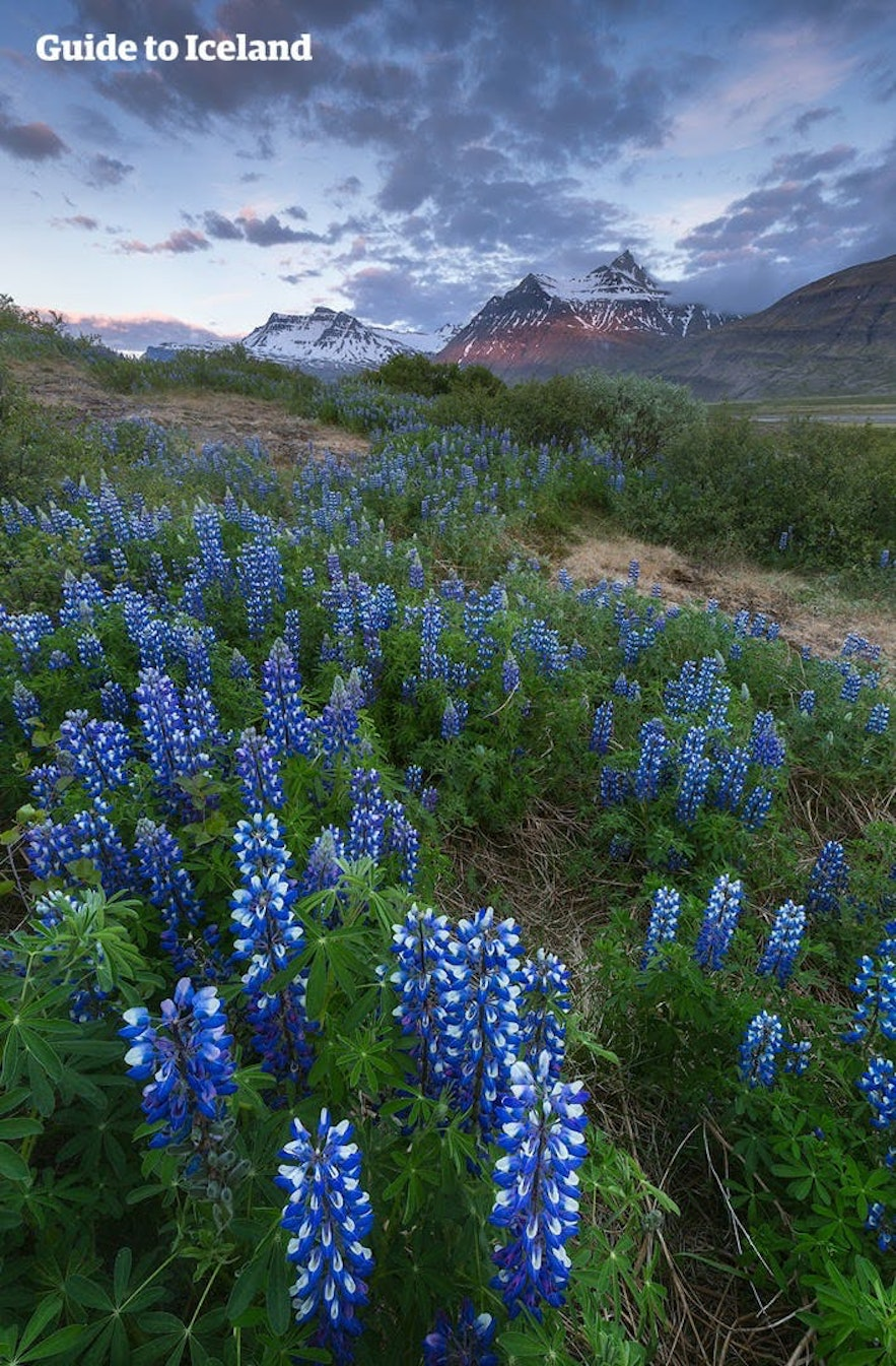 Lupins bloom before the jagged peaks of Iceland's East Fjords.