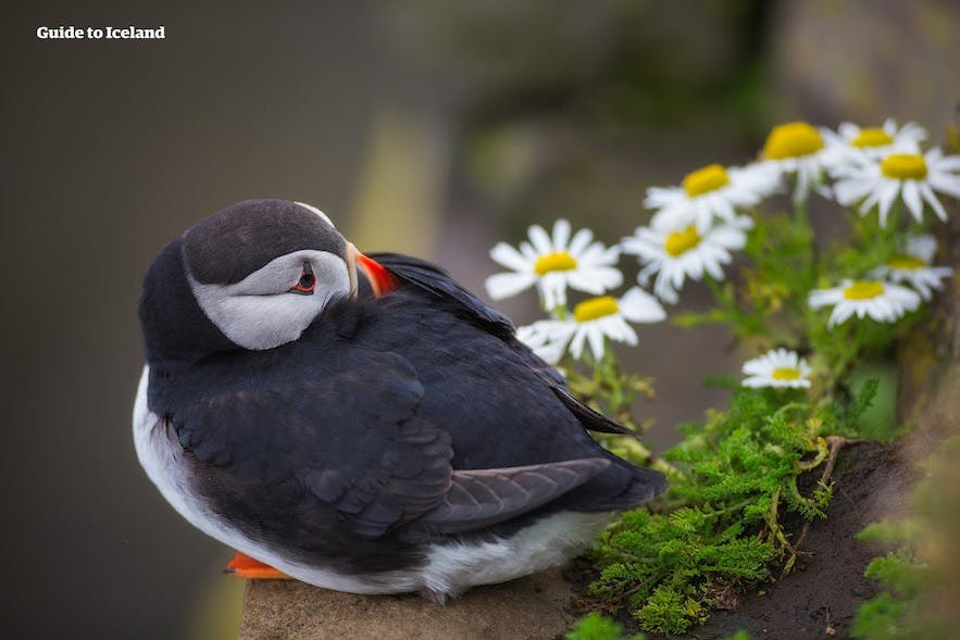 A puffin rests by some daisies during the summer in Iceland's East Fjords.