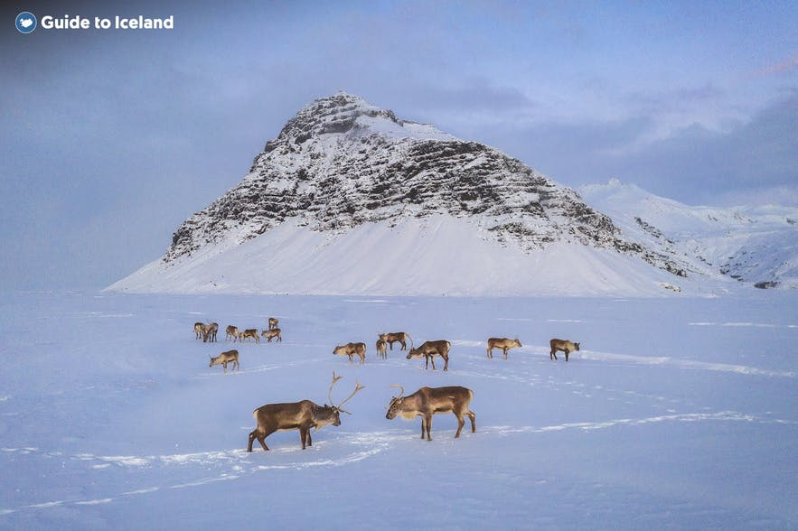 Reindeer gather on a snowy field in the winter of East Iceland.