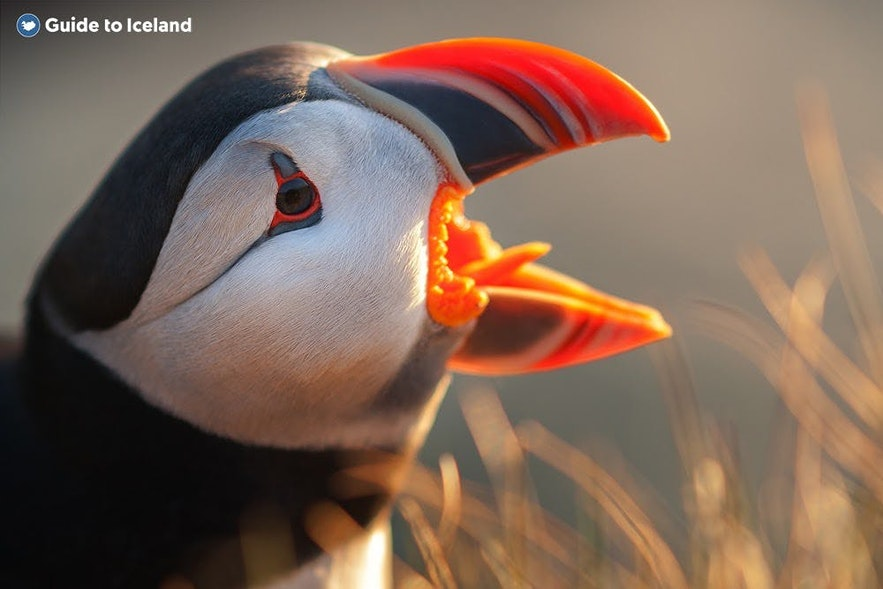 A puffin calls out for its mate on the coast of East Iceland.