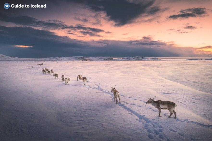 Reindeer cross a field of snow in East Iceland in single file.