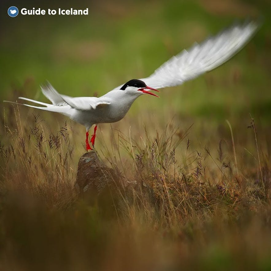A tern spreads its wings to take off in East Iceland.