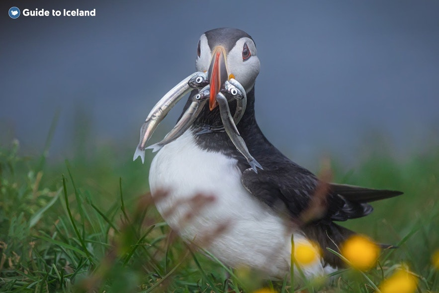 A puffin stands proudly in East Iceland with its catch in its beak.