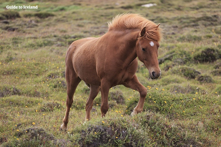 An Icelandic horse trots over a grassy plain of lava.