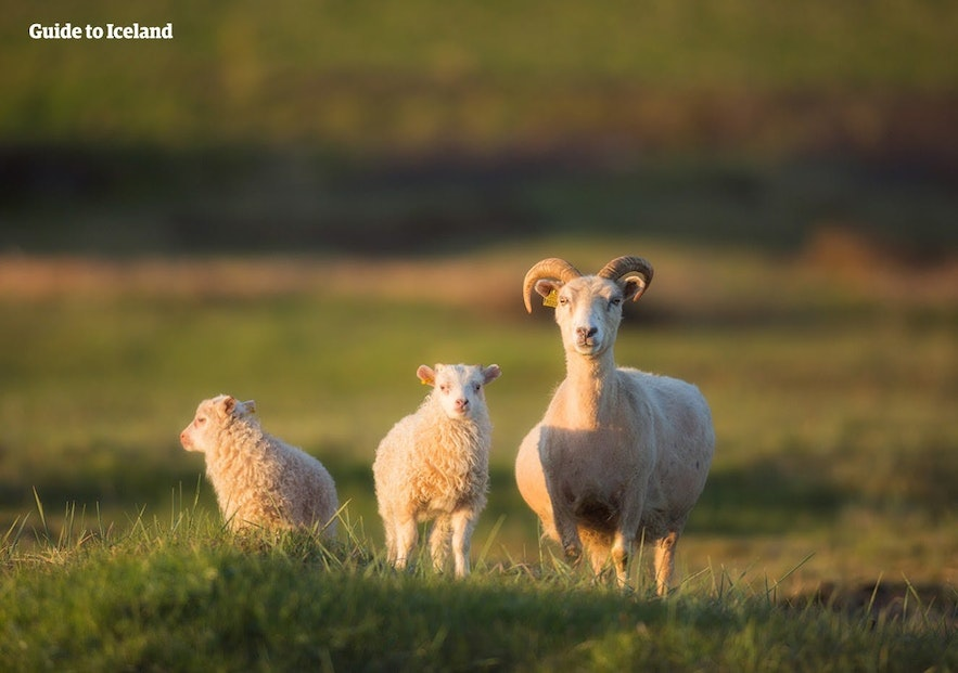 An Icelandic sheep with her lambs keeps a watchful eye on the cameraman.