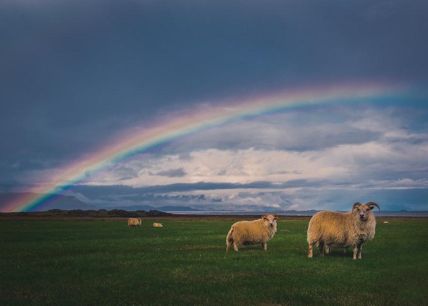 A pair of Icelandic sheep.