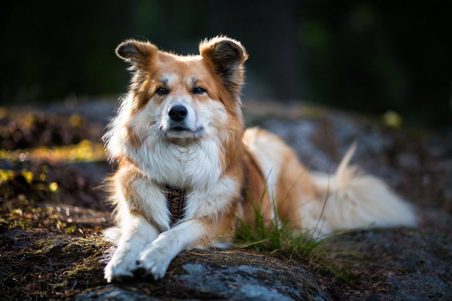 An Icelandic sheepdog.