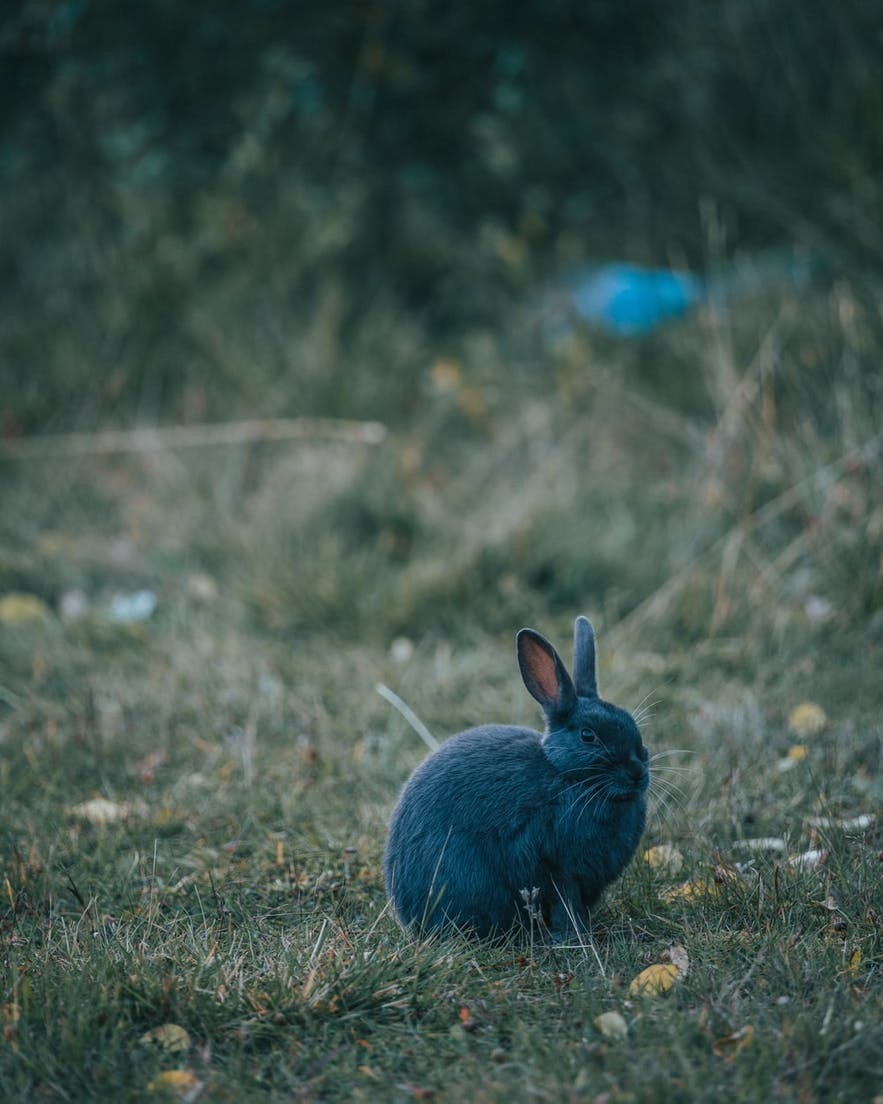 A rabbit in the nature near Reykjavik.