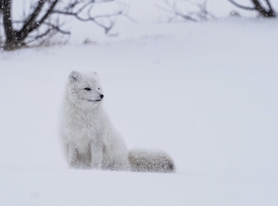 A 'white' Arctic Fox in winter.