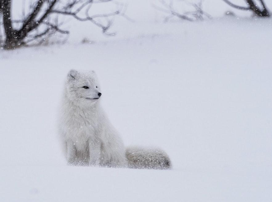 A 'white' Arctic Fox in winter.