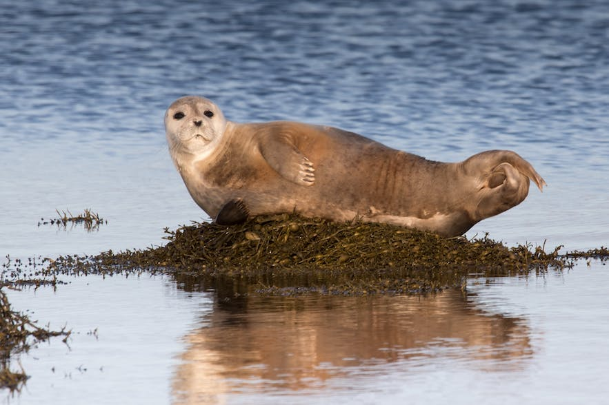 A seal hauling out on shore.