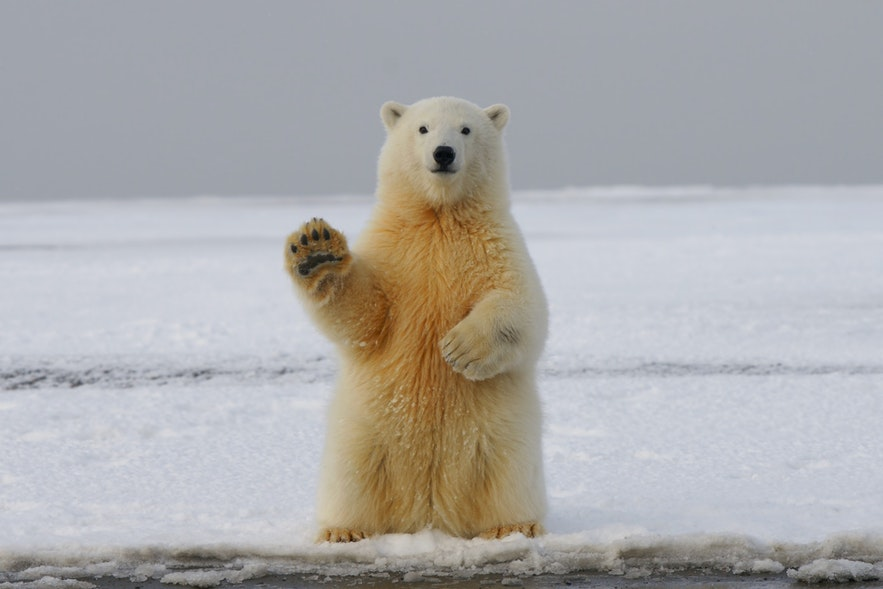 Polar bears are not a native Icelandic species, but a very rare visitor from Greenland.