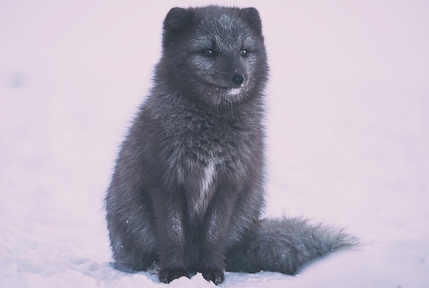 An Arctic Fox in its summer coat.