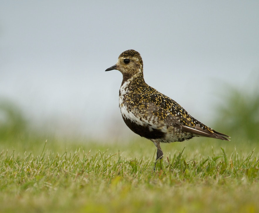 Golden Plovers are a sign of the coming summer in Iceland.