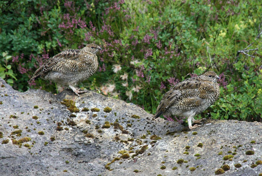 Rock ptarmigans change plumage by season in Iceland.