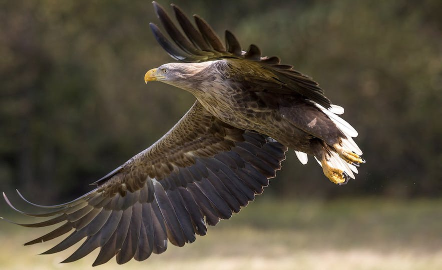 Although they faced extinction, White-Tailed Eagles are making a recovery in Iceland.
