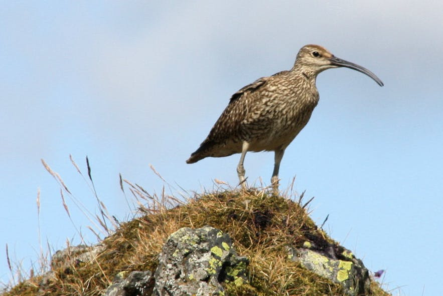 Whimbrels can be found across Iceland's coasts and wetlands in summer.
